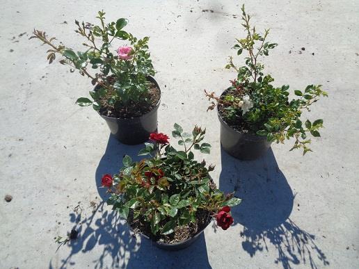 rosa - buisson