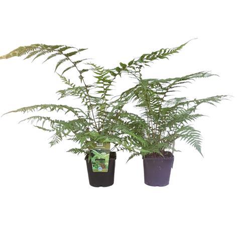 Dicksonia (fougere arborescente)