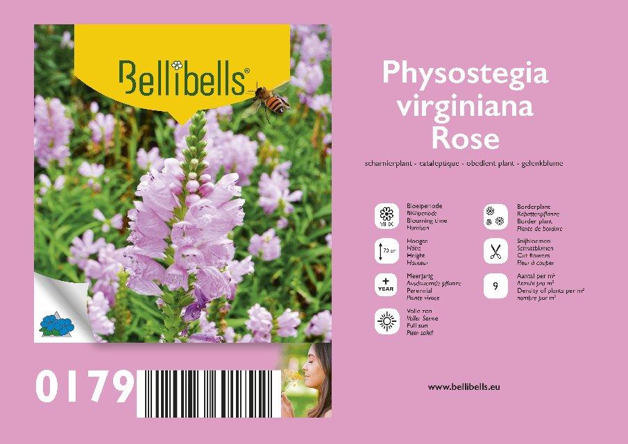 Physostegia