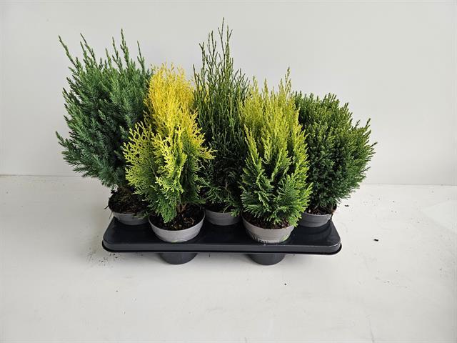 Coniferes mixt