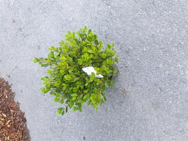 rhodo az. japonica az. mollis pieris