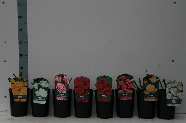 rosiers buisson tige grimpant
